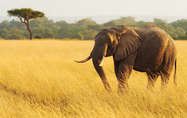 Elephant on the Masai Mara in Africa
