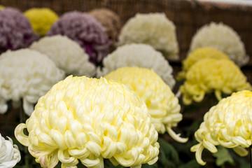 黄色い大菊の花