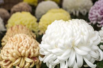白い大菊の花