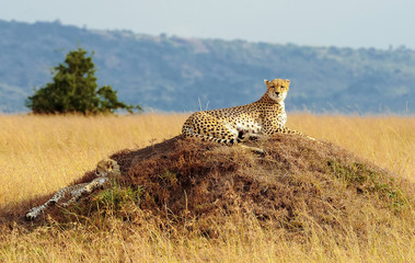 Cheetahs on the Masai Mara in Africa