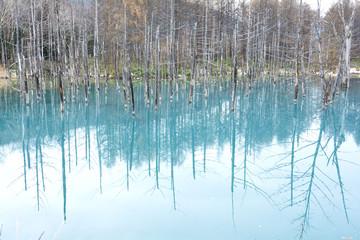 晩秋の美瑛の青い池と枯れ木立