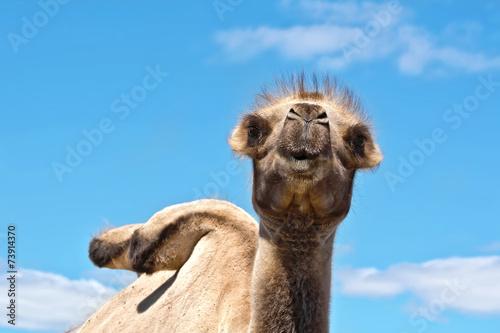 Fotobehang Kameel Camel on background of sky
