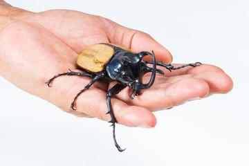Yellow five horned beetle