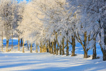 Beech trees with hoarfrost