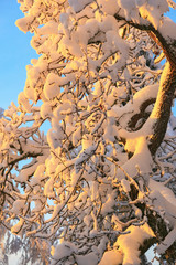Tree with snow in sunset