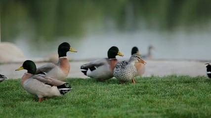 wild ducks grazing on grass