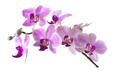 Pink streaked orchid flower, isolated ILLUSTRATION