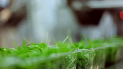 Vaschettine di insalata rucola