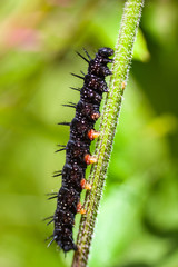 macro insects. caterpillar of a butterfly