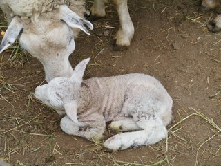 A sheep with a just born lamb