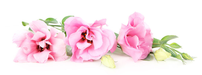 Beautiful pink eustoma isolated on white