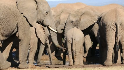 Close-up of African elephant herd with calf at water