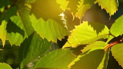 Grape leaves background. Macro closeup.