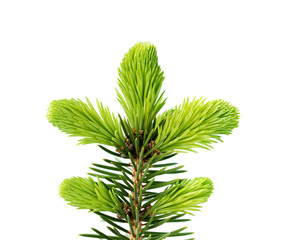 Young sprout of spruce isolated on white