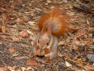Red squirrel with walnuts