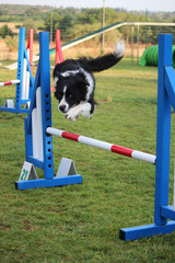 a border collie that jumps an obstacle of dog agility