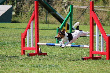 a jack russel that jumps an obstacle of dog agility