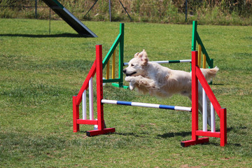 a golden retriever that jumps an obstacle of dog agility
