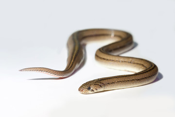 Close up snake on white background