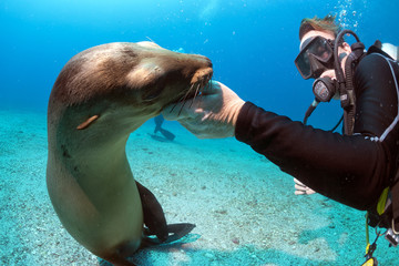 Diver and Puppy sea lion underwater looking at you