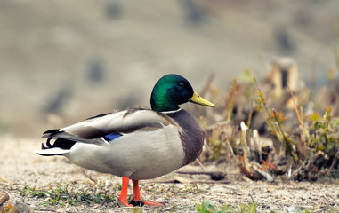 Closeup of a duck standing on a  hill.