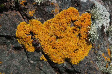lichen, Calopaca thallincola