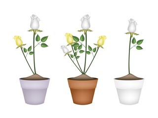White and Yellow Roses in Ceramic Flower Pots