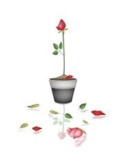 Beautiful Red Rose in Ceramic Flower Pot