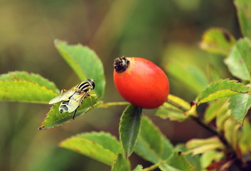 Rosehip and bee