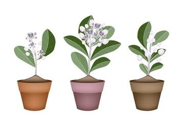 Fresh Calotropis Gigantea in Ceramic Flower Pots