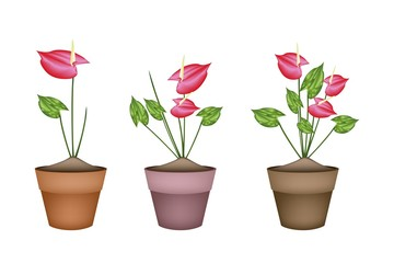 Anthurium Flowers or Flamingo Lily in Ceramic Flower Pots