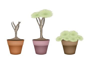 Three Dragon Tree in Ceramic Flower Pots