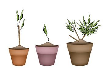 Yucca Tree and Dracaena Plant in Ceramic Pots