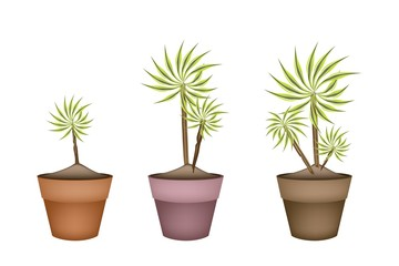 Three Yucca Tree and Dracaena Plant in Ceramic Pots