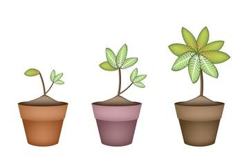 Dieffenbachia Picta Marianne Plant in Ceramic Pot