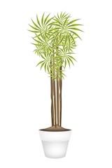 Yucca Tree and Dracaena Plant in Ceramic Pot