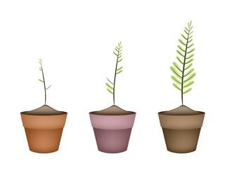 Three Fresh Green Ferns in Ceramic Pots