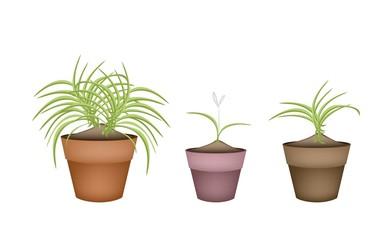Three Dracaena Plants in Ceramic Flower Pots