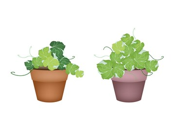 Two Polyscias Leaves in Ceramic Flower Pots