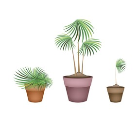 Lady Palm Tree in Ceramic Flower Pots