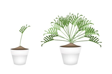 Twho Philodendron Plant in Ceramic Flower Pots