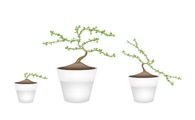Three Masam Bonsai in Ceramic Flower Pots