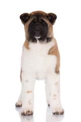 beautiful american akita puppy standing on white