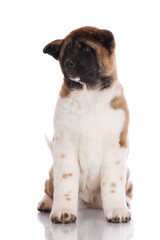 adorable american akita puppy on white