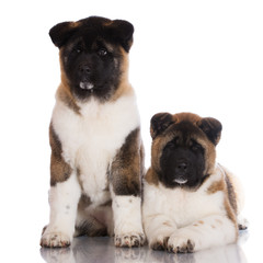 two american akita puppies together on white