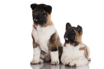 two american akita puppies on white