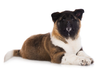 american akita puppy on white
