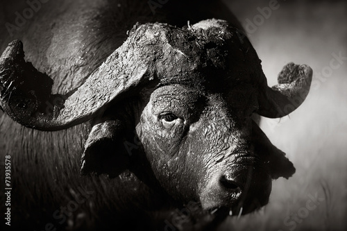 Fotobehang Buffel African buffalo bull Portrait