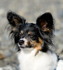 Portrait of a papillon on a beach