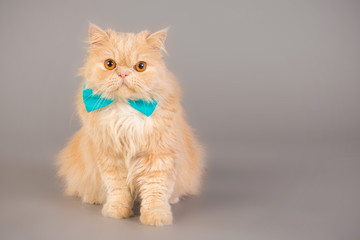 The cat with the bow tie
